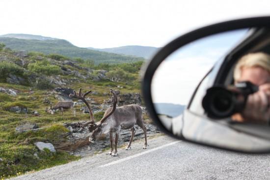 I VEIEN: Man tror kanskje det er tull, men reinsdyrene er så mange at de kan bli oppdaget i Hammerfest sine sentrumsgater. Her fra vidda mot Nordkapp. Foto: Kjetil R. Anda / procycling.no